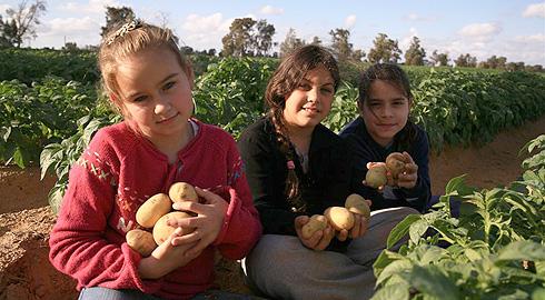 Песах 2012 - фестиваль картофеля
