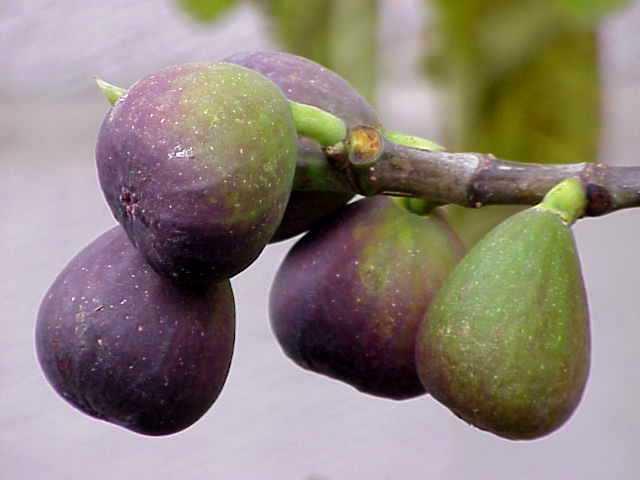 сбор ягод на севере Израиля - Галилея