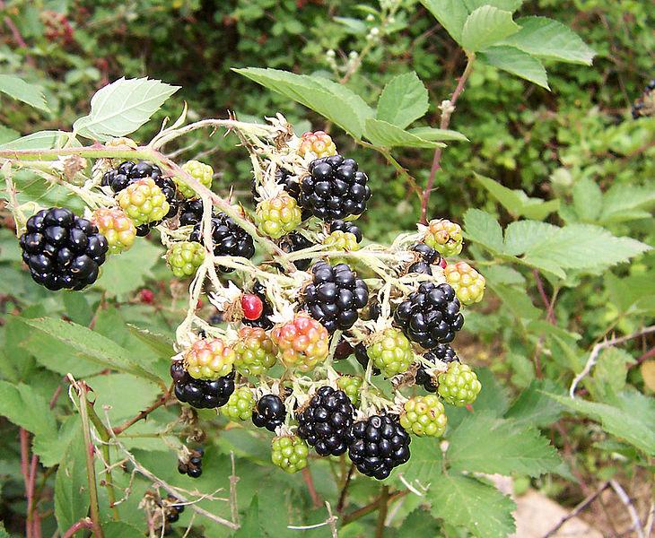 сбор ягод ежевики и малины на севере в Галилее