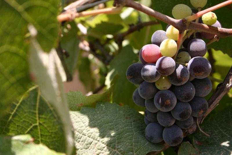виноград - праздник Ту бе Ав
