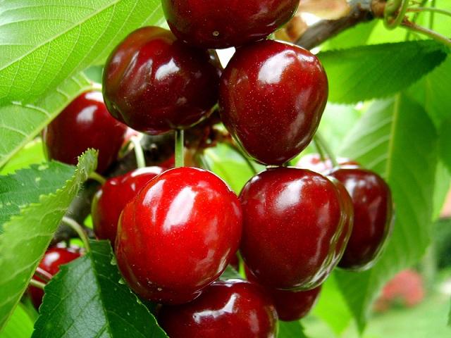 сбор ягод, вишни и черешни на Голанских высотах