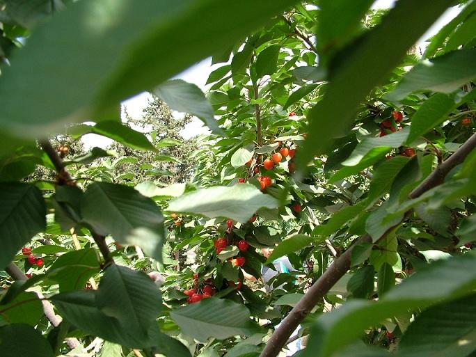 где собирают ягоды, вишни, черешню в Израиле?