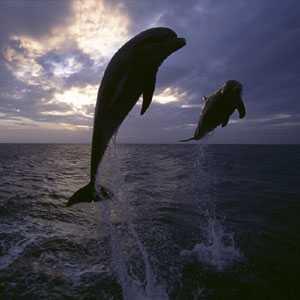 Дельфины в прыжке над водой - Эйлат - пляж дельфиний риф - Израиль