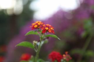 Цветок в эйн карем- иерусалим - Израиль