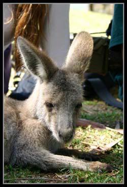 Ган Гуру - фотография кенгуренка