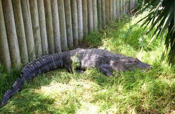 Аллигатор в Хай Парке - Кирьят Моцкин