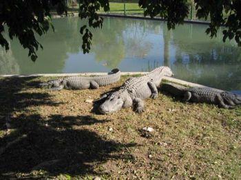 """Хамат-Гадер """"Крокодилы лежат практически неподвижно и косят желтым глазом на любопытных туристов."""""""