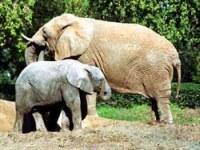 Слоны в Сафари - Рамат Ган - Израиль