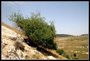 Галилея - Дуб на склоне городища Юдфат (Иотапата)