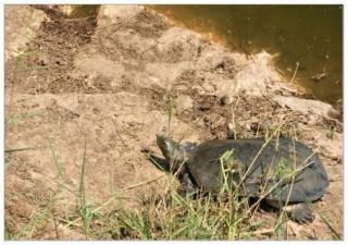 мягкотелая черепаха - нахаль александр - Израиль